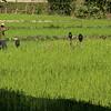 Man walking through a rice crop growing in field, Kamu Lodge, Ban Gnoyhai, Luang Prabang, Laos