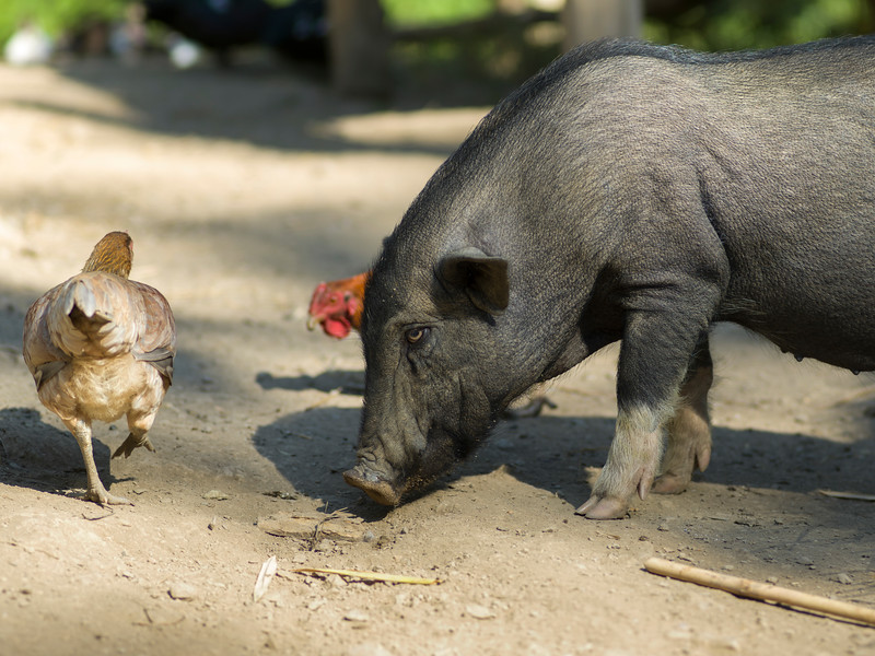 Pig and rooster on a farm, Ban Gnoyhai, Luang Prabang, Laos