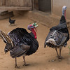 Close-up of turkey birds on a farm, Ban Gnoyhai, Luang Prabang, Laos