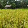 Close-up of rice crop growing in field, Kamu Lodge, Ban Gnoyhai, Luang Prabang, Laos