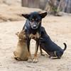 Dog nursing puppies, Ban Gnoyhai, Luang Prabang, Laos