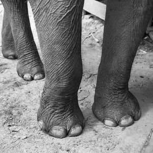 Legs of elephant, Tad Sea Waterfall, Luang Prabang, Laos