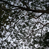 Low angle view of branches of tree, Mount Phousi, Luang Prabang, Laos