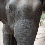 Front view of an elephant, Tad Sae Waterfall, Luang Prabang, Laos