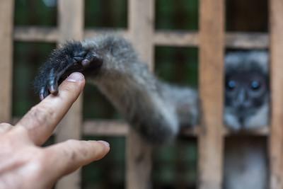 Langur's hand touching person's finger, Luang Prabang, Laos