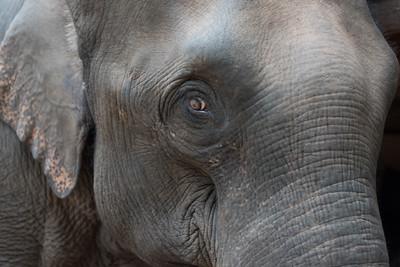 Side view of an elephants head, Tad Sae Waterfall, Luang Prabang, Laos