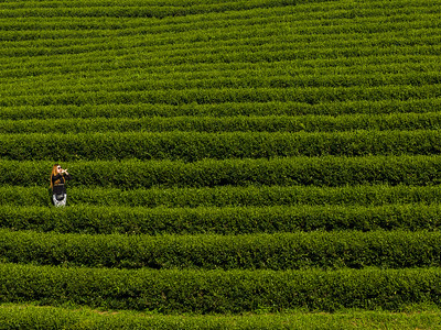 Woman standing in tea plantation, Chiang Rai, Thailand