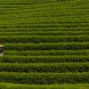 Woman standing in tea plantation, Chiang Rai, Thailand