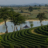 Scenic view of tea plantation and pond, Chiang Rai, Thailand