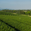 Scenics view of tea plantation, Chiang Rai, Thailand