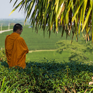Buddhist monk standing in tea plantation, Chiang Rai, Thailand