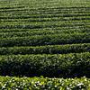 Field in tea plantation, Chiang Rai, Thailand