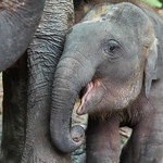 Close-up of elephant calf with its mother, Koh Samui, Surat Thani Province, Thailand