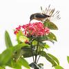 Bird pollinating flower, Koh Samui, Surat Thani Province, Thailand