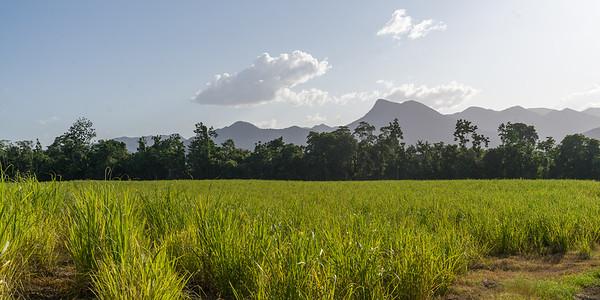 Crop in a field, Far North Queensland, Queensland, Australia