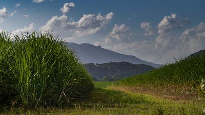 Close-up of tallgrass, Far North Queensland, Queensland, Australia