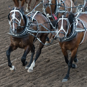Horses chuckwagon racing at the annual Calgary Stampede, Calgary, Alberta, Canada