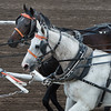Horses at chuckwagon race during Calgary Stampede, Calgary, Alberta, Canada