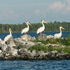 White pelicans at lake, Lake of The Woods, Ontario, Canada