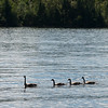 Canada geese in a lake, Lake of The Woods, Ontario, Canada