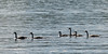 Geese in a lake, Lake of The Woods, Ontario, Canada
