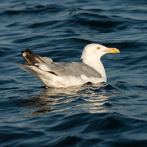 Seagull swimming in a lake, Kenora, Lake of The Woods, Ontario, Canada