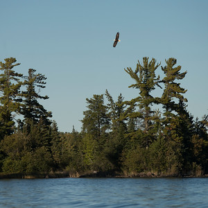 Eagle flying over trees at the lakeside, Lake of The Woods, Ontario, Canada