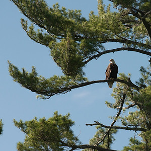 Eagle perching on a tree, Lake of The Woods, Ontario, Canada
