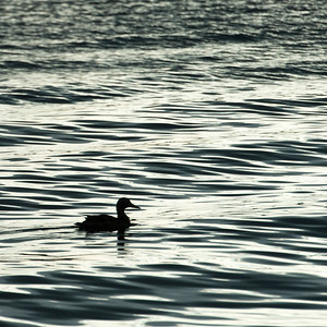 Duck floating on a lake at dawn, Lake of The Woods, Ontario, Canada