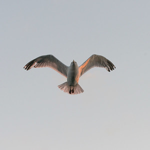 Seagull flying in the sky, Kenora, Lake of The Woods, Ontario, Canada