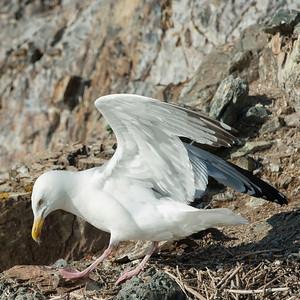 Seagull at coast, Kenora, Lake of The Woods, Ontario, Canada