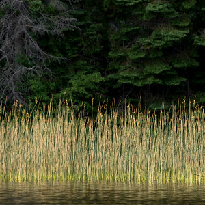 Reeds in a lake, Lake of The Woods, Ontario, Canada