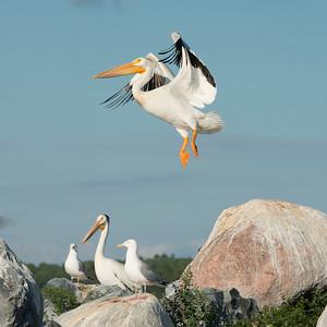Birds at coast, Lake of The Woods, Ontario, Canada