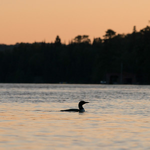 Loon in a lake at sunset, Lake of The Woods, Ontario, Canada