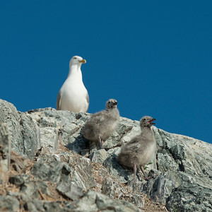 Seagull with chicks at coast, Lake of The Woods, Ontario, Canada