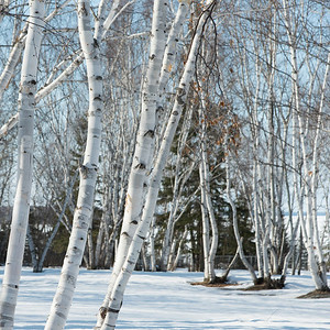 Bare trees on a snow covered landscape, Riverton, Hecla Grindstone Provincial Park, Manitoba, Canada