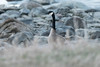 Canada Goose at provincial park, Riverton, Hecla Grindstone Provincial Park, Manitoba, Canada