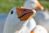 Close-up of a white duck, Southeast Brook Falls, Gros Morne National Park, Newfoundland and Labrador, Canada
