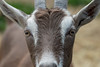 Close-up of a goat, Charlottetown, Prince Edward Island, Canada