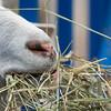 Close-up of a goat eating grass, Brackley, Prince Edward Island, Canada