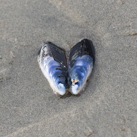 Seashell on sand, Cox Bay, Pacific Rim National Park Reserve, Tofino, Vancouver Island, British Columbia, Canada