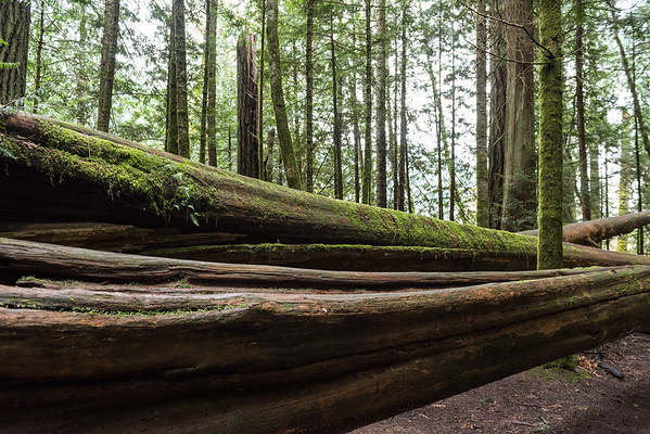 Fallen Trees in a forest, Cathedral Grove, Vancouver Island, British Columbia, Canada
