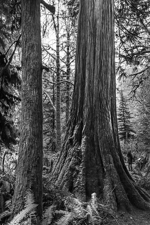 Trees in a forest, Cathedral Grove, Vancouver Island, British Columbia, Canada