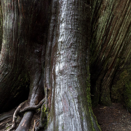 Close-up of a tree trunk, Cathedral Grove, Vancouver Island, British Columbia, Canada