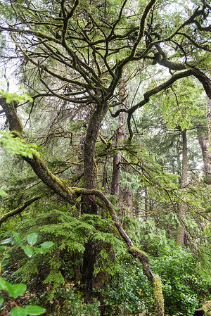 Trees in a forest, Pettinger Point, Cox Bay, Pacific Rim National Park Reserve, Tofino, British Columbia, Canada
