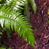 Close-up of fern leaf, Pacific Rim National Park Reserve, British Columbia, Canada