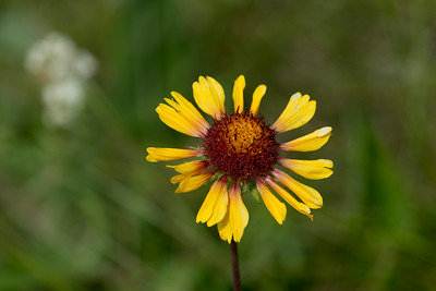Closeup of a yellow daisy, Lake Audy Campground, Riding Mountain National Park, Manitoba, Canada