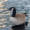 Canada goose (Branta canadensis) swimming in lake, Vancouver, British Columbia, Canada