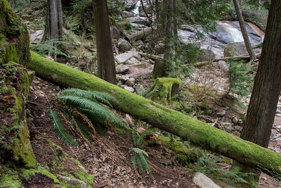 Moss covered trees in a forest, Nairn Falls Provincial Park, Whistler, British Columbia, Canada