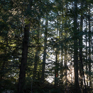 Trees in a forest, Whistler, British Columbia, Canada